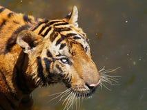 Tijger in dierentuin Royalty-vrije Stock Foto's