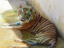 Tijger in dierentuin Royalty-vrije Stock Foto