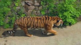 Tijger in dierentuin Siberische tijger die in dierentuin loopt Hoogste mening van wilde tijger op gras stock videobeelden