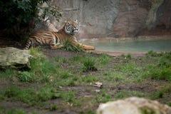 Tijger in een dierentuin stock afbeeldingen