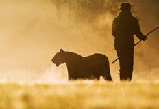Tijger en mens in het gouden zonlicht Tijger in wilde de zomeraard De scène van het actiewild, gevaarsdier royalty-vrije stock afbeelding