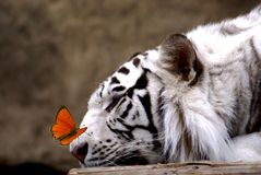Tijger en vlinder Stock Afbeelding