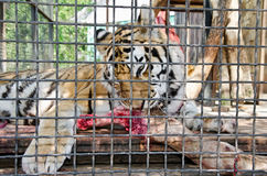 Tijger in gekooid in Yalta-dierentuin royalty-vrije stock afbeeldingen
