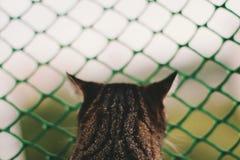 Tijger-gestreepte Cat Looking Out royalty-vrije stock foto