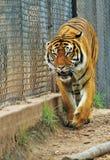Tijger in gevangenschap stock afbeelding
