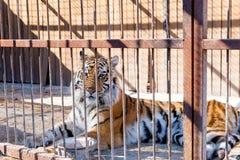 Tijger in gevangenschap in een dierentuin achter de tralies Macht en agressie in de kooi stock foto