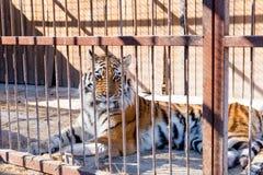 Tijger in gevangenschap in een dierentuin achter de tralies Macht en agressie in de kooi royalty-vrije stock afbeelding
