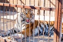 Tijger in gevangenschap in een dierentuin achter de tralies Macht en agressie in de kooi stock foto's