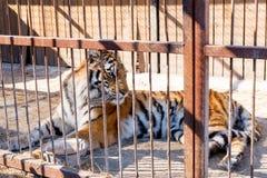Tijger in gevangenschap in een dierentuin achter de tralies Macht en agressie in de kooi stock fotografie