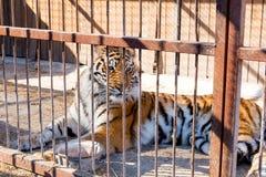 Tijger in gevangenschap in een dierentuin achter de tralies Macht en agressie in de kooi stock afbeeldingen