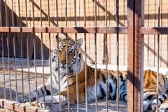 Tijger in gevangenschap in een dierentuin achter de tralies Macht en agressie in de kooi royalty-vrije stock fotografie