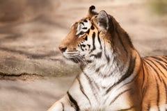 Tijger grote mannelijke kat Stock Fotografie