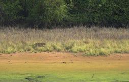 Tijger het besluipen op een Bevlekt hert in weide stock fotografie