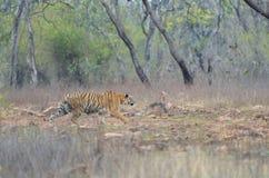Tijger het besluipen op een sambar hert royalty-vrije stock fotografie