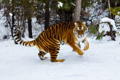 Tijger het spelen in de sneeuw Stock Foto's