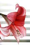 Tijger lilly Royalty-vrije Stock Foto's