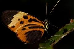 Tijger Longwing Buttefly stock afbeeldingen