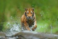 Tijger met het water van de plonsrivier De scène van het actiewild met wilde kat in aardhabitat Tijger die in het water lopen Gev stock foto