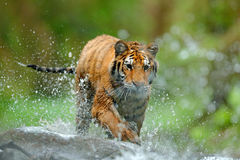 Tijger met het water van de plonsrivier Het wildscène van de tijgeractie, wilde kat, aardhabitat Tijger die in water loopt Gevaar stock fotografie