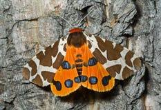 Tijger-mot van de vlinder (caja Arctia) 5 Stock Foto