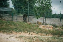 Tijger onder een boom in Fasano-apulia Italië Stock Foto