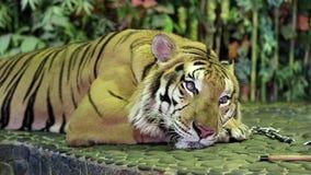 Tijger op een ijzerleiband in dierentuin stock video