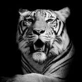 Tijger, portret van een Bengalen tijger Royalty-vrije Stock Afbeeldingen