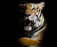 Tijger, portret van een Bengalen tijger Stock Afbeeldingen