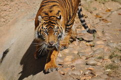 Tijger, Sumatran stock afbeelding