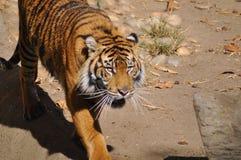 Tijger, Sumatran royalty-vrije stock afbeelding