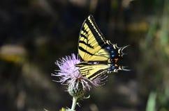 Tijger swallowtail op distel Royalty-vrije Stock Afbeeldingen