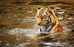 Tijger in water stock foto