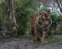Tijger in wildernis stock foto's