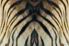 Tijgerhuid stock afbeelding