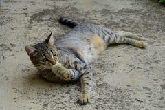 tijgerkat met gele ogen die op een concrete vloer liggen en poten, kat op de linkerkant van foto likken Royalty-vrije Stock Fotografie