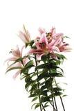 Tijgerlelie, Lilium-lancifolium, close-up Royalty-vrije Stock Fotografie