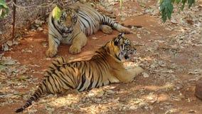 tijgers Royalty-vrije Stock Afbeelding
