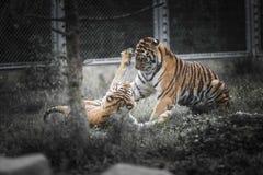 tijgers Stock Foto