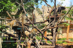 Tijgers in dierentuinen en aard Stock Foto's