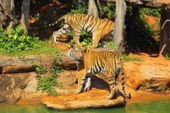 Tijgers in dierentuinen en aard Royalty-vrije Stock Fotografie