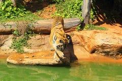 Tijgers in dierentuinen en aard Royalty-vrije Stock Foto's
