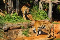 Tijgers in dierentuinen en aard Royalty-vrije Stock Afbeelding
