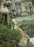 Tijgers in dierentuinen en aard Royalty-vrije Stock Foto