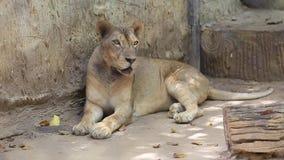 Tijgerslaap in dierentuin stock video