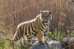 Tijgerwelp in spelreserve in Zuid-Afrika royalty-vrije stock foto's