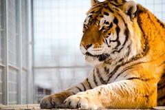 Tijgerzitting in een kooi Vrijheid aan alle dieren royalty-vrije stock foto
