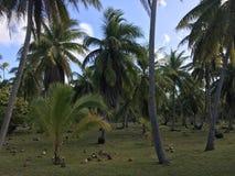 Tikehau coconut palm trees stock photography