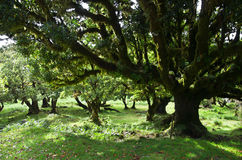 Til trees of 500 years old, Madeira Stock Images