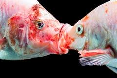 Tilapia πάλη ψαριών Στοκ Φωτογραφίες