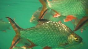 Tilapia του Νείλου στο niloticus Oreochromis λιμνών στο φράγμα Ratchaprapha στο εθνικό πάρκο Khao Sok, επαρχία του Σουράτ Thani απόθεμα βίντεο